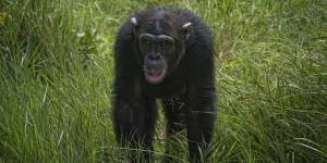 Chimpanzee Refuge