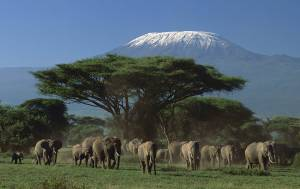 Elephant Watching Under Mt Kilimanjaro