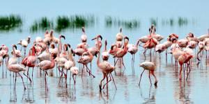 Lake Nakuru Flamingo