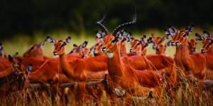Massai Mara Game Reserve Antelope