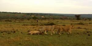 Massai Mara Game Reserve Lions
