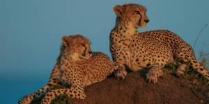 Massai Mara Game Reserve Cheetah