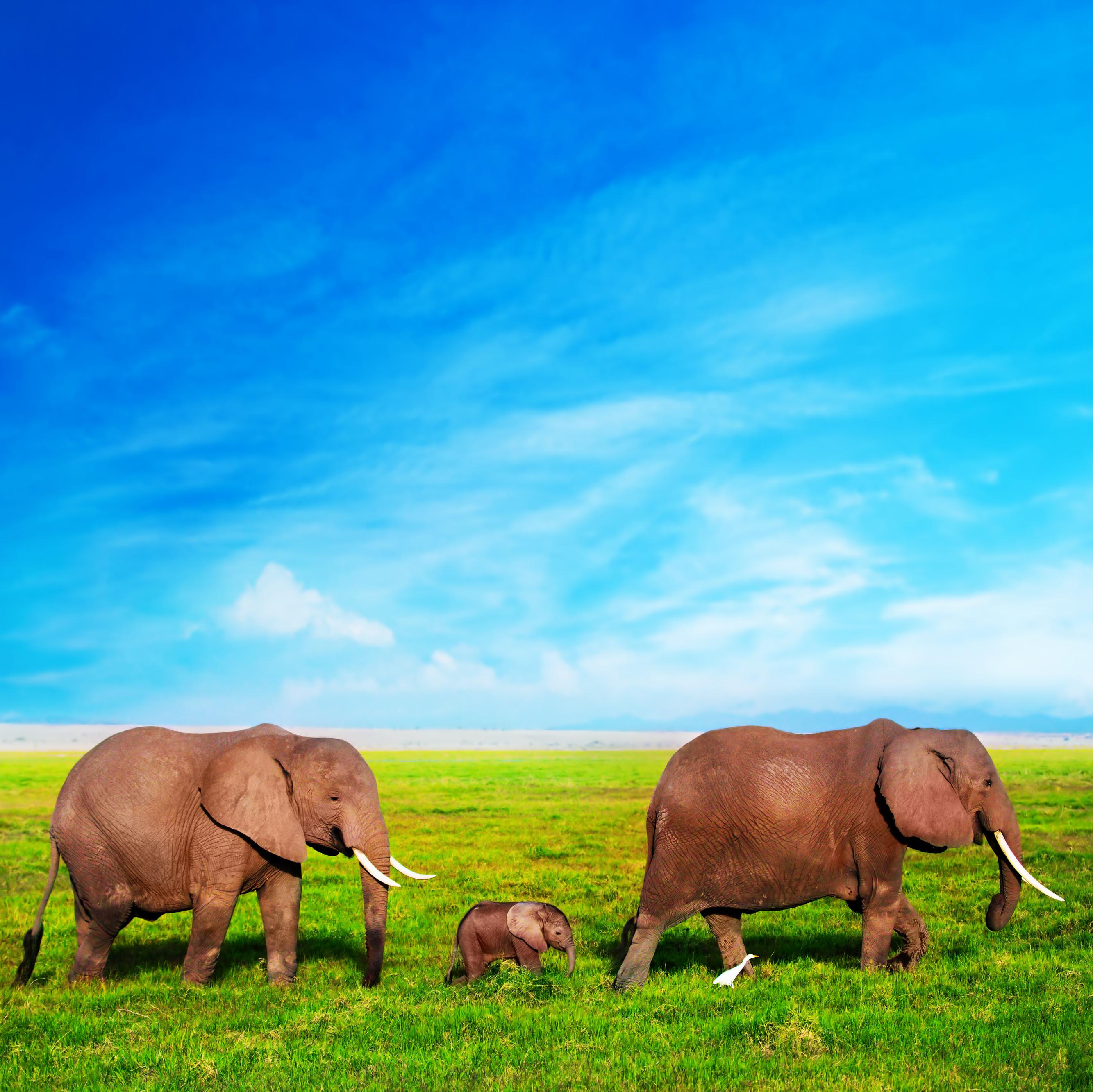 Elephants sqr